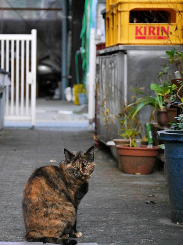 真ん丸猫背のサビ柄猫2