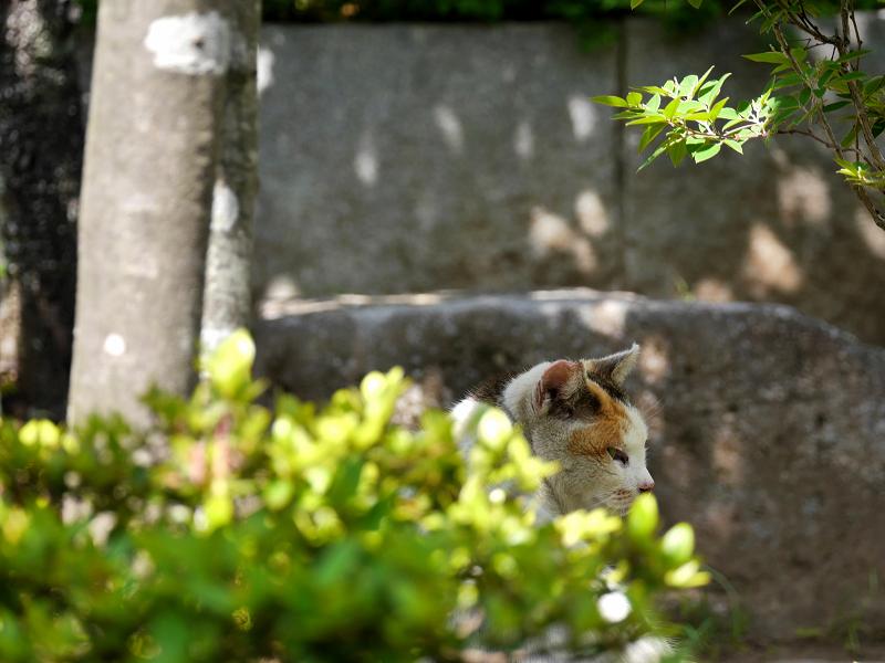木漏れ日の白三毛猫2