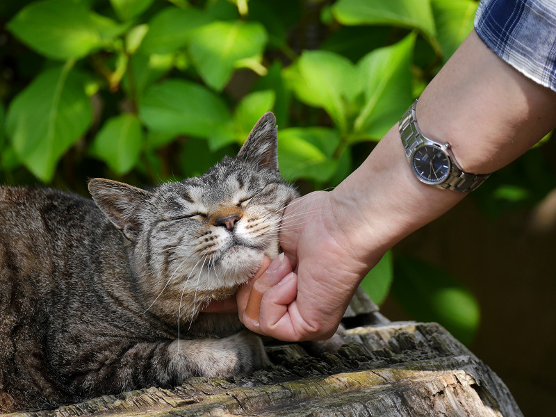 頬を触られてるキジトラ猫2
