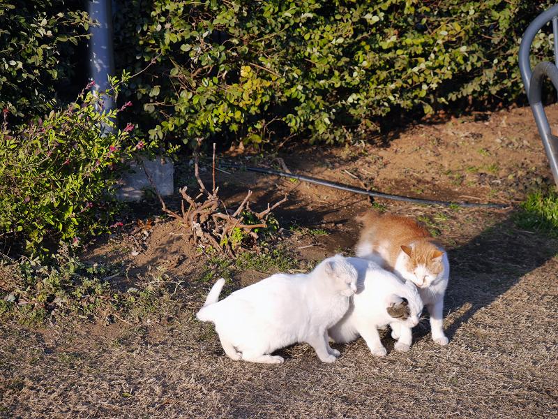 頭をぶつけ合う猫たち2