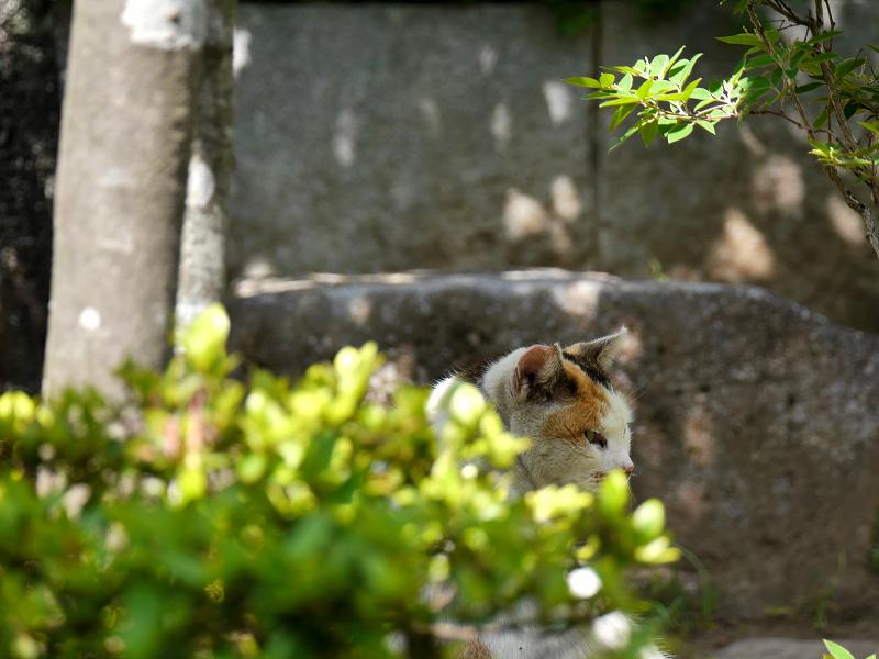 木漏れ日の白三毛猫3