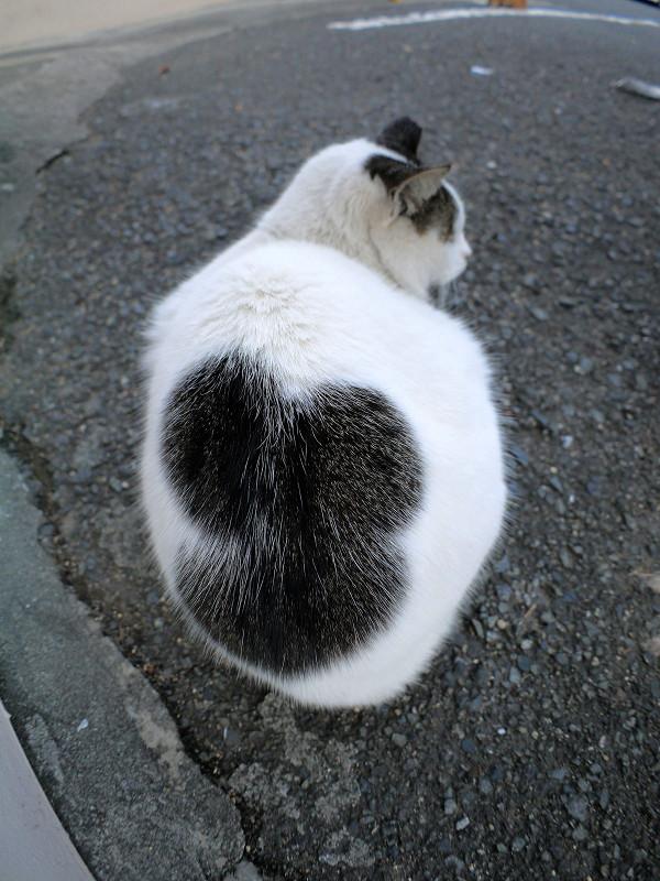 不思議な模様の白黒猫1