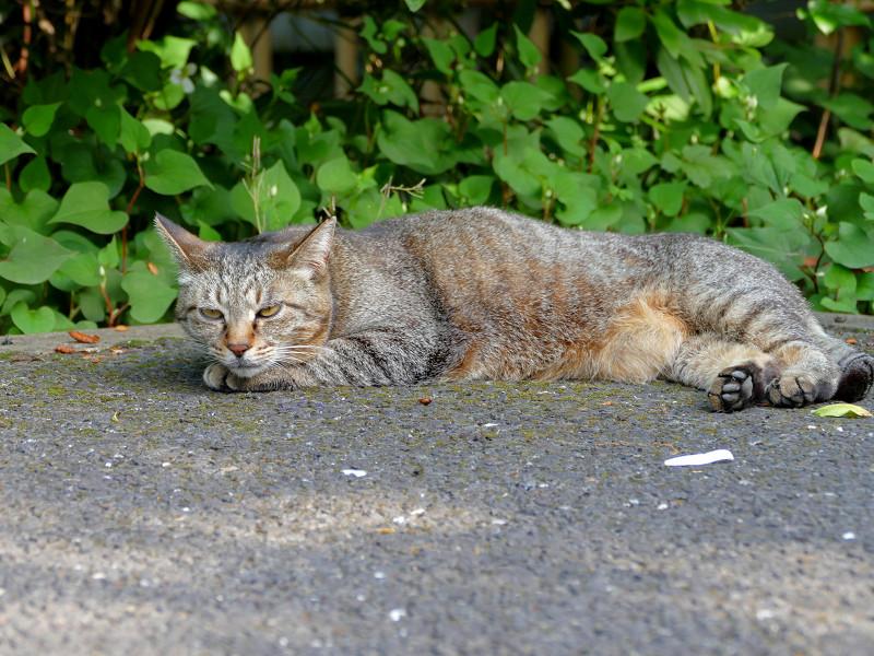 腹ばって眠りに入るキジトラ猫1