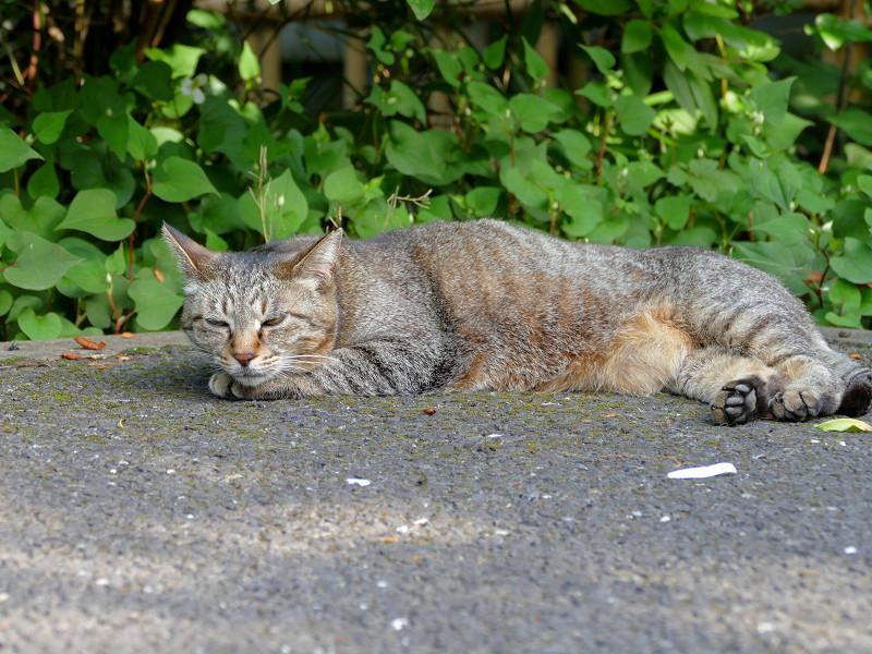 腹ばって眠りに入るキジトラ猫2