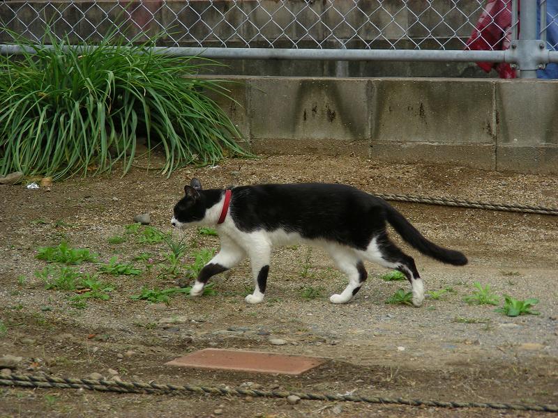 空き地の端っこに移動してる黒白猫1