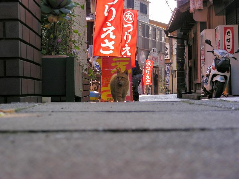 歩み寄って来る茶トラの猫1