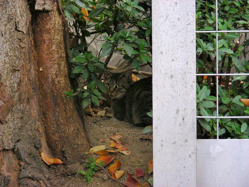 大木の横のキジトラ猫1