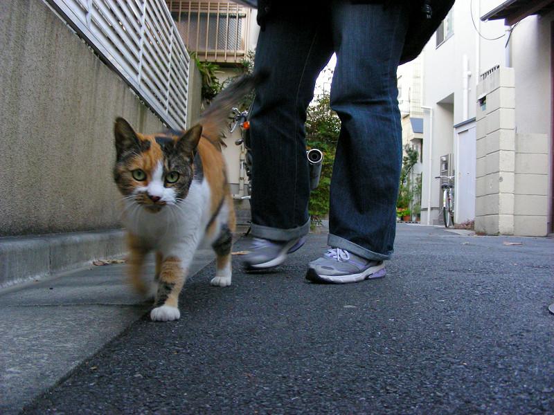 一緒に歩いた三毛猫