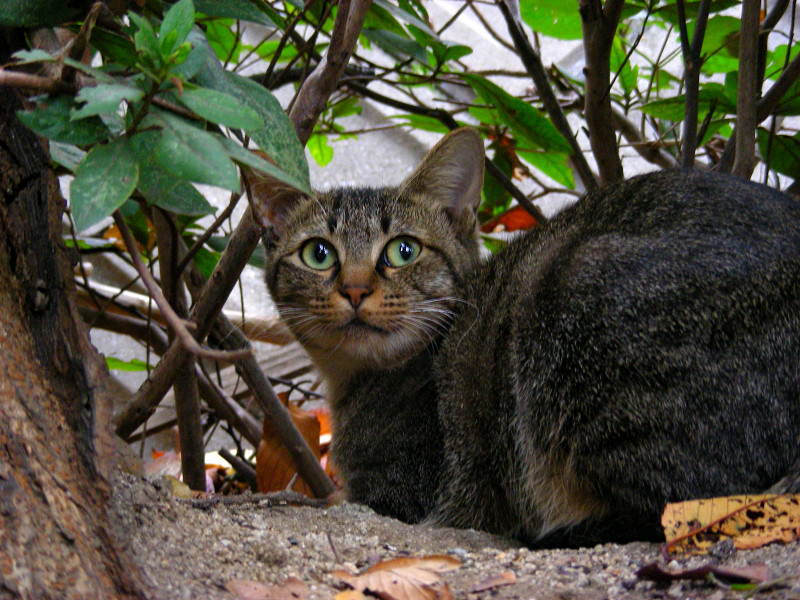 大木の横のキジトラ猫2