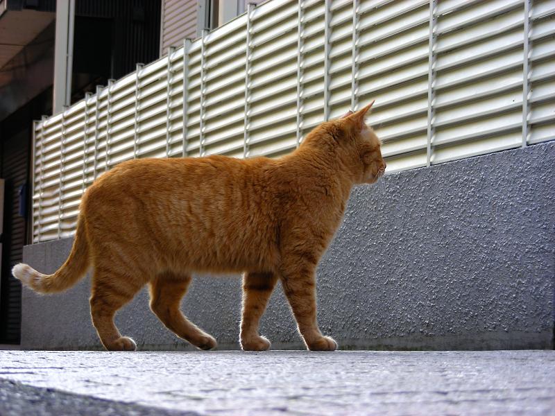 歩み寄って来る茶トラの猫3