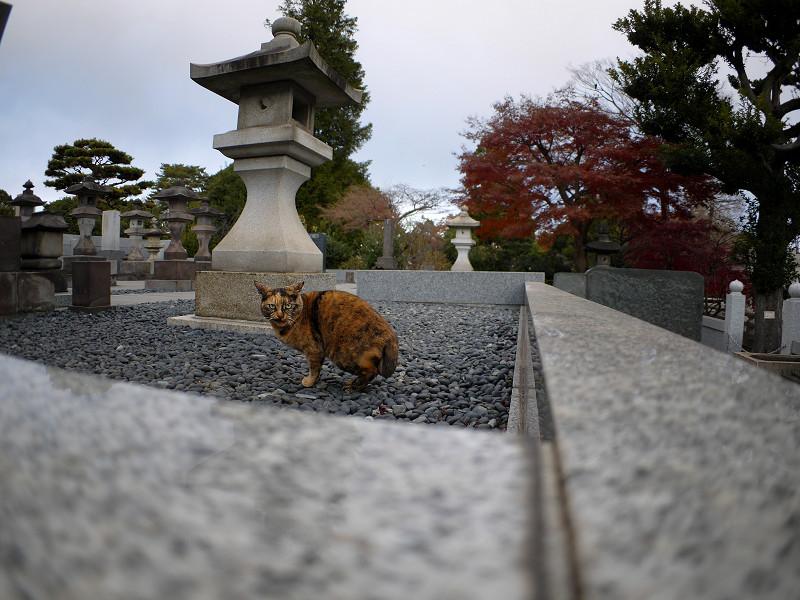 墓苑のサビ柄猫