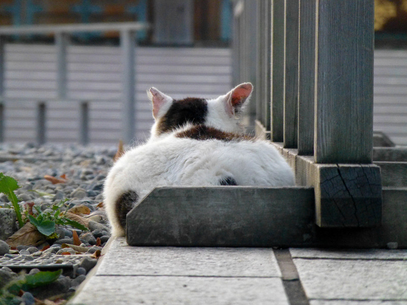 お餅のような白キジ猫2