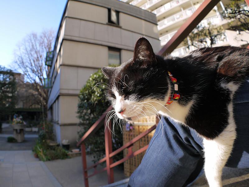 膝に乗って首を伸ばしてる黒白猫1