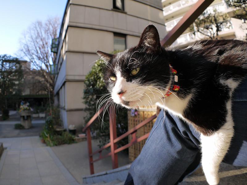 膝に乗って首を伸ばしてる黒白猫3