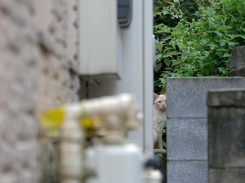 隙間から見ている白系猫1