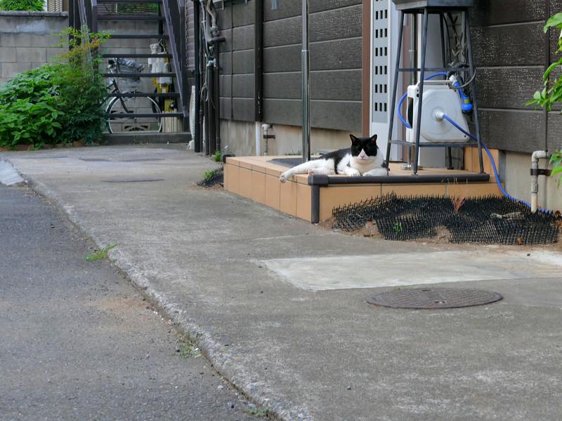 腹ばう黒白猫1