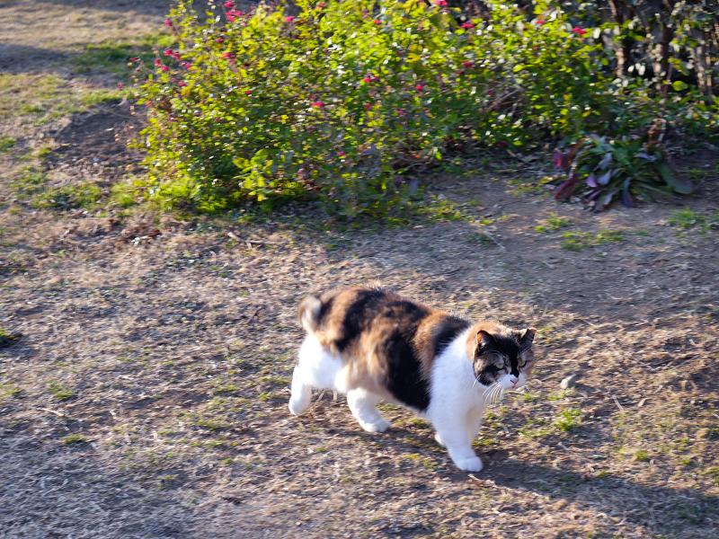 歩いてる三毛猫1