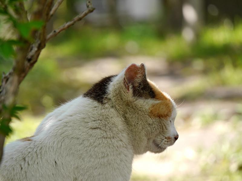 白三毛猫の横顔1