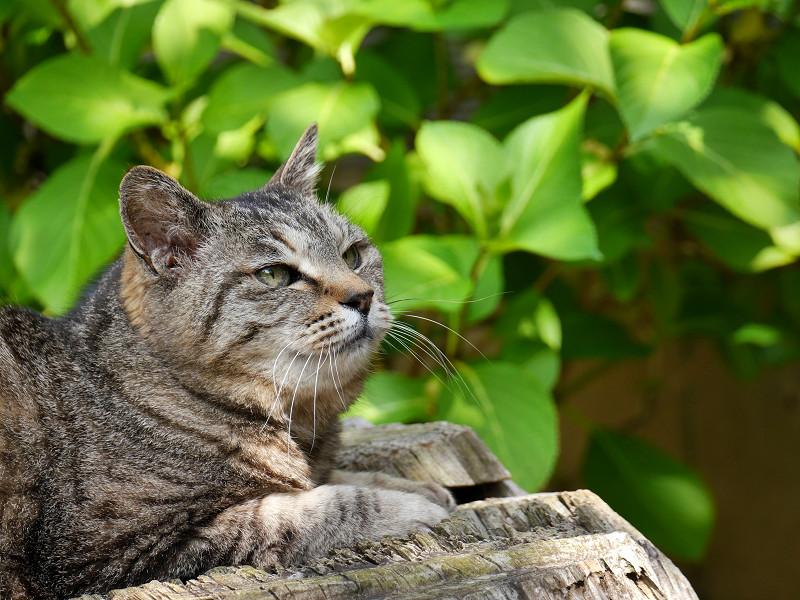 切り株でまったりなキジトラ猫1