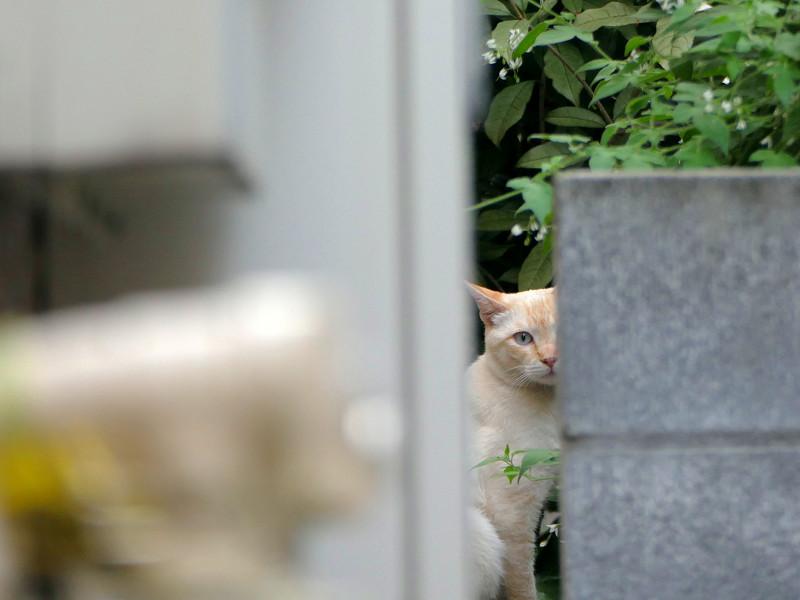 隙間から見ている白系猫2