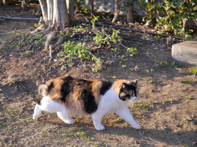 歩いてる三毛猫2