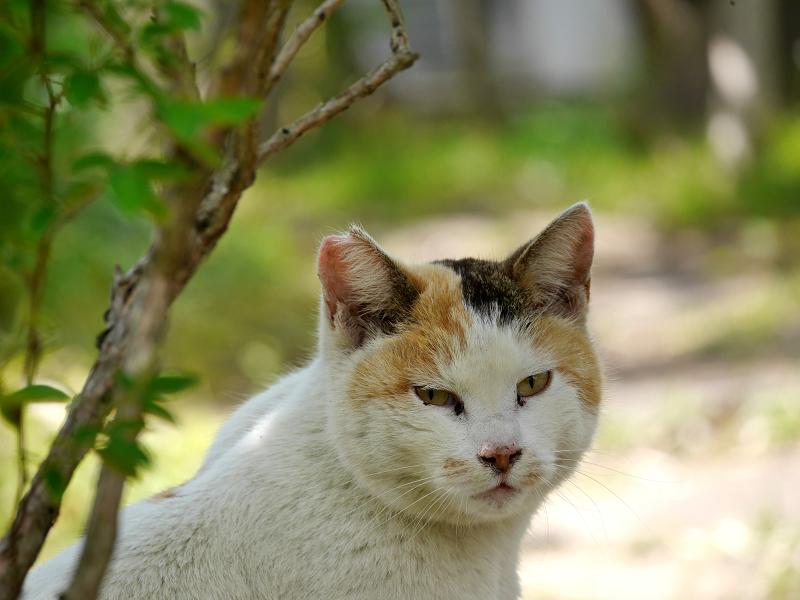 白三毛猫の横顔2