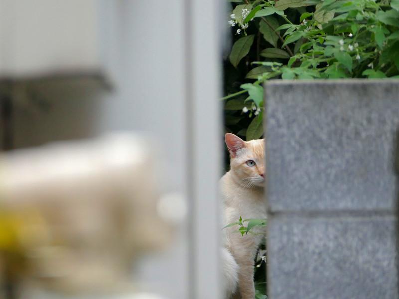 隙間から見ている白系猫3
