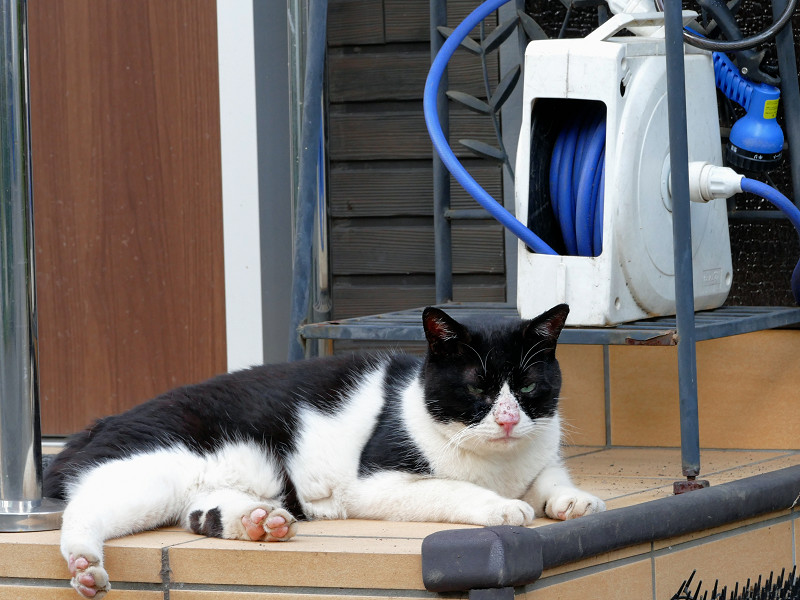 腹ばう黒白猫3