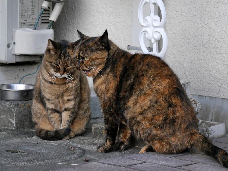 ちょっと怒ってるサビ柄猫3