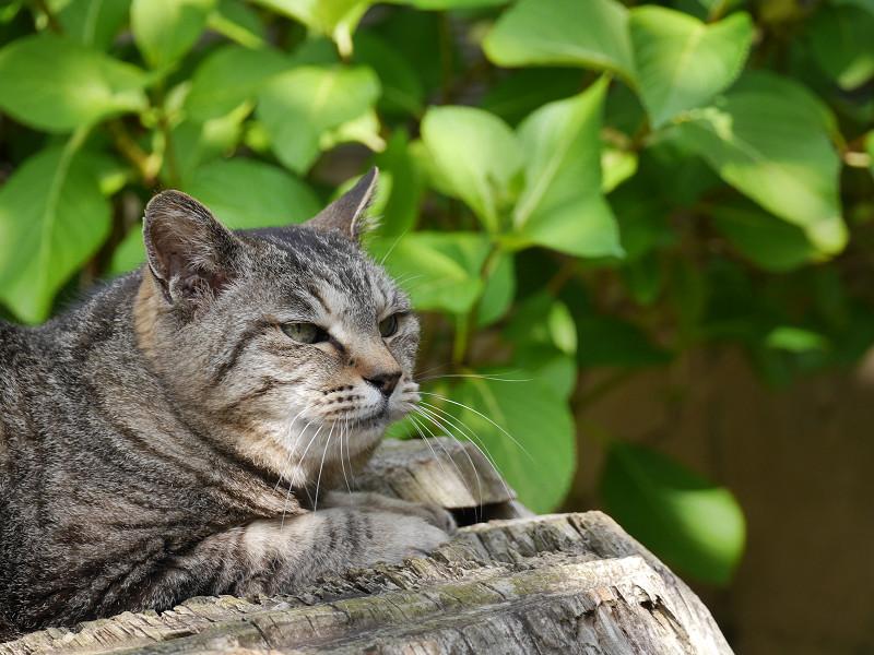 切り株でまったりなキジトラ猫3