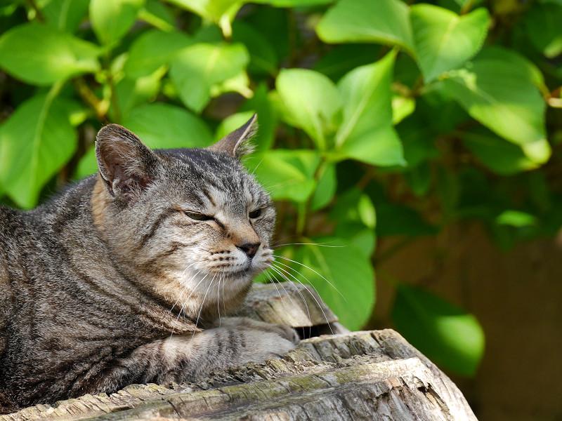 切り株でまったりなキジトラ猫4