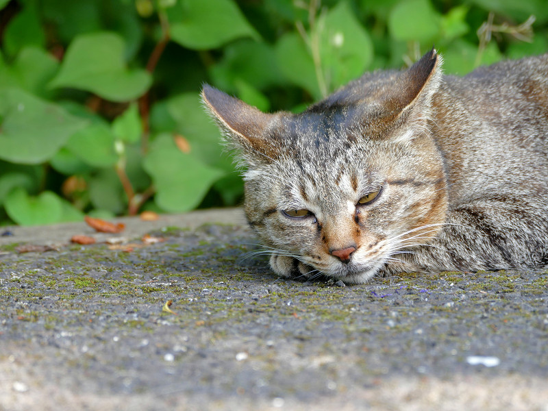 眠くて堪らないキジトラ猫1