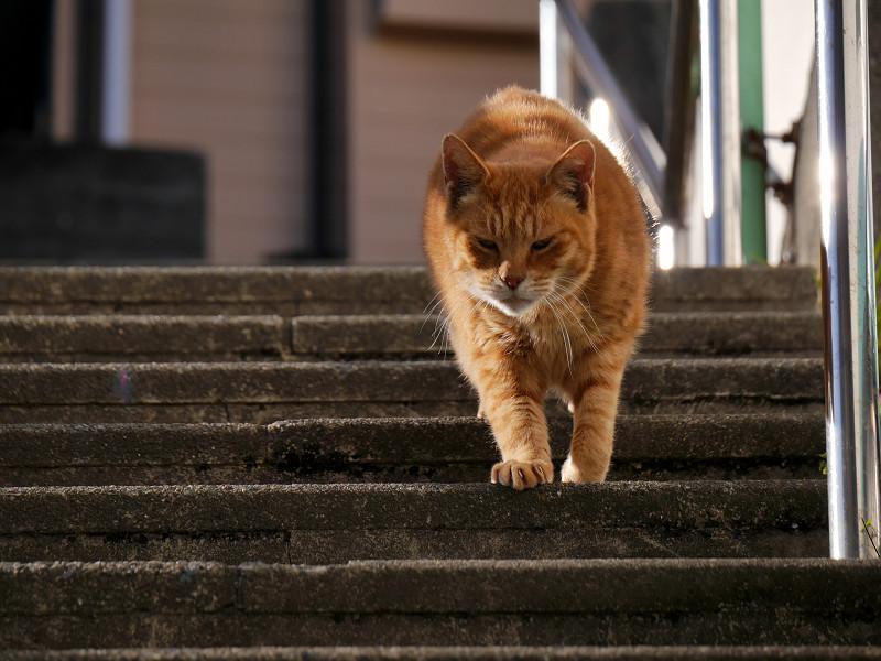 階段を降りて来る茶トラ猫1