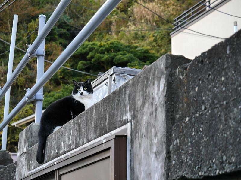 高い位置の黒白猫1