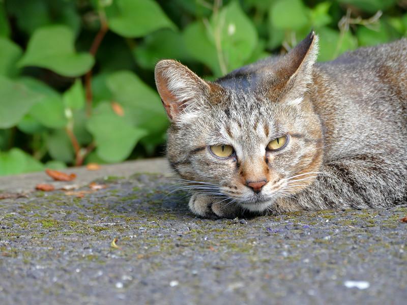 眠くて堪らないキジトラ猫2