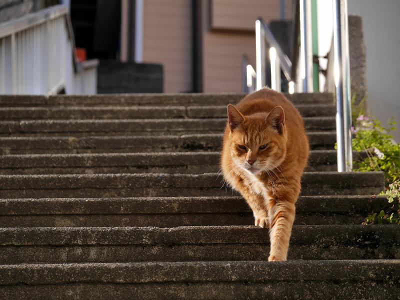 階段を降りて来る茶トラ猫2