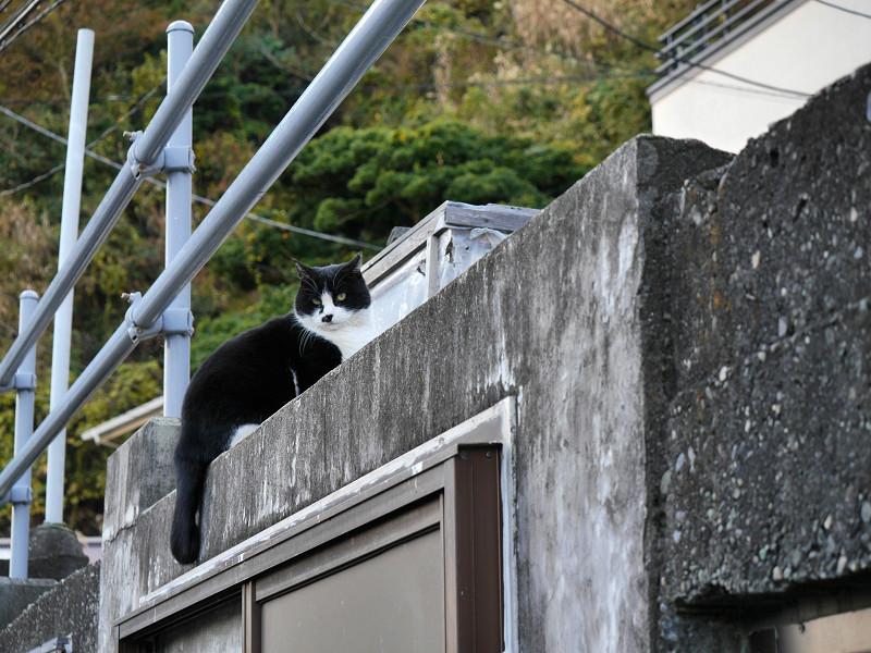 高い位置の黒白猫2