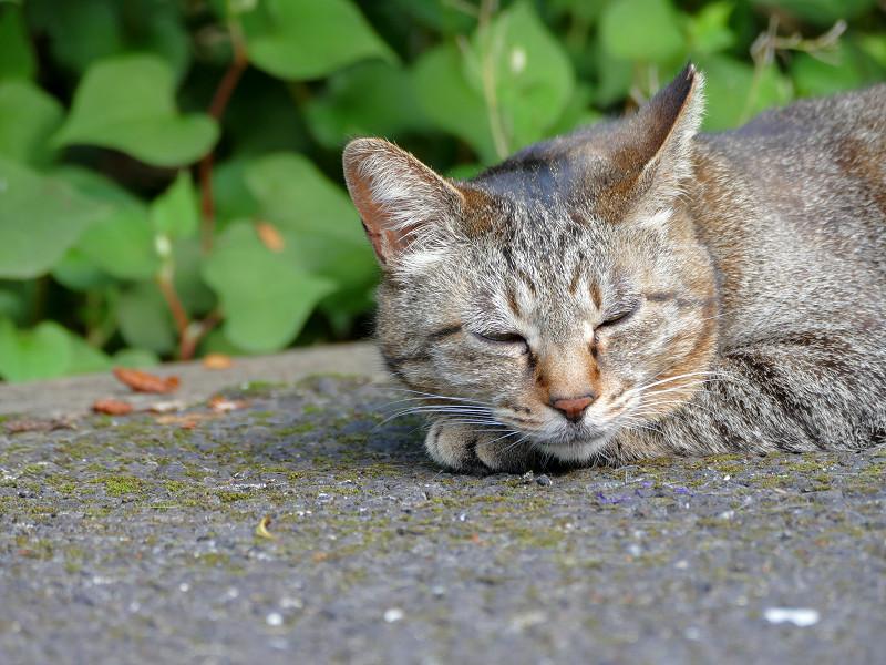 眠くて堪らないキジトラ猫3