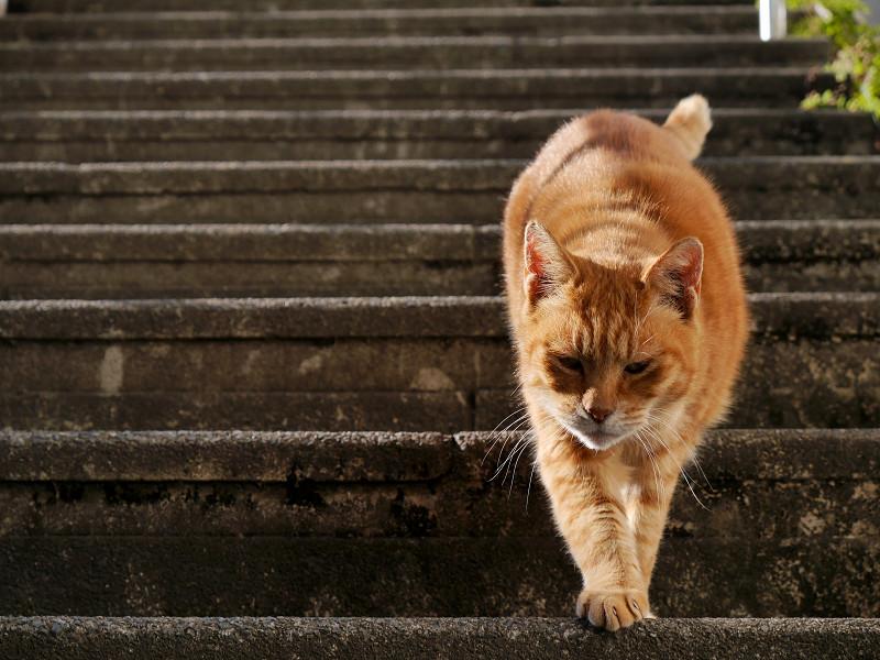 階段を降りて来る茶トラ猫3