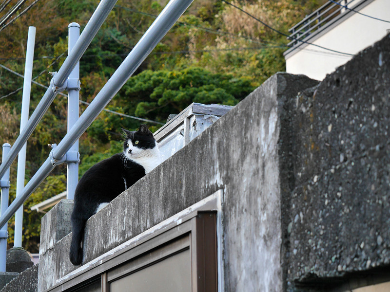 高い位置の黒白猫3