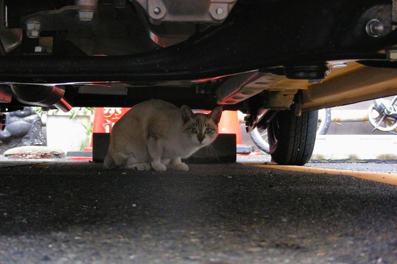 車の下の洋風猫1