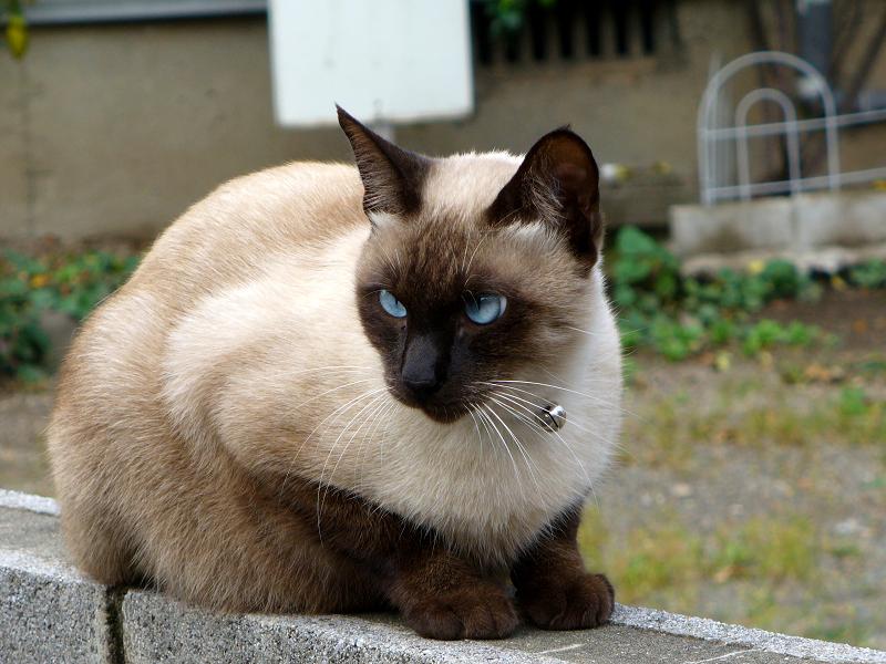 座ってる洋風猫1