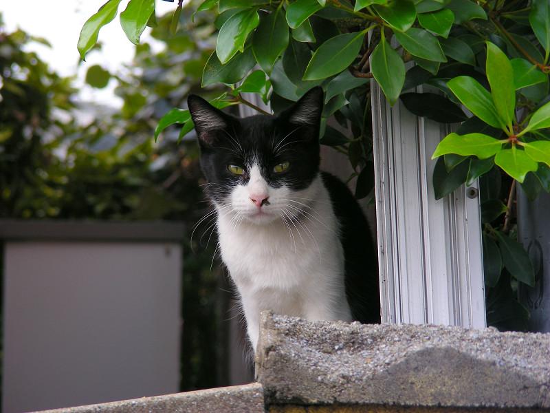 塀の中の黒白猫1