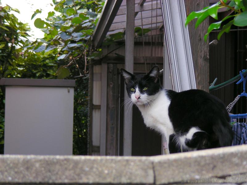 塀の中の黒白猫2