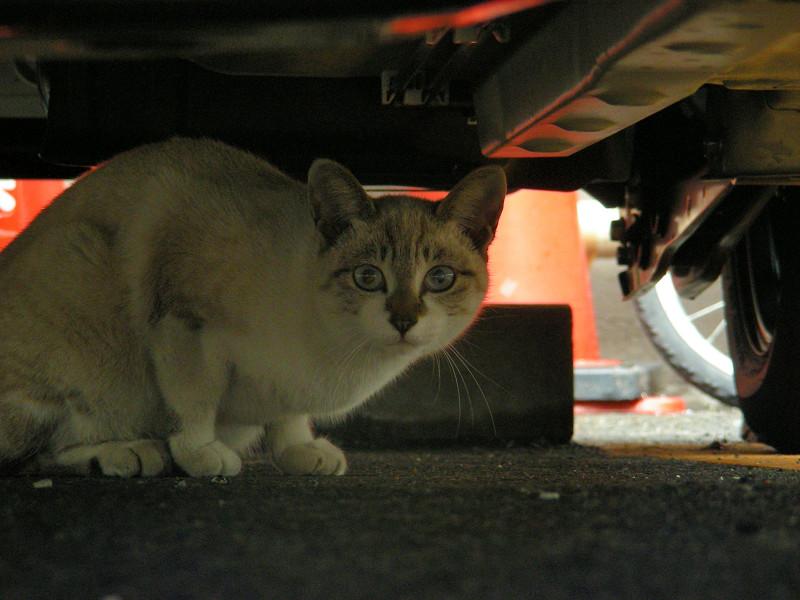 車の下の洋風猫2