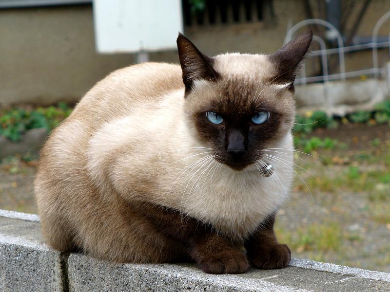 座ってる洋風猫2