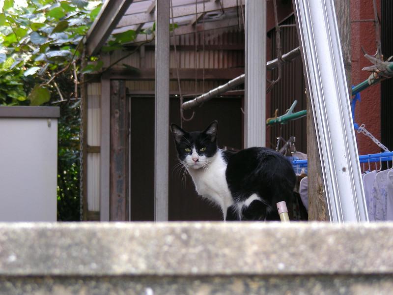 塀の中の黒白猫3