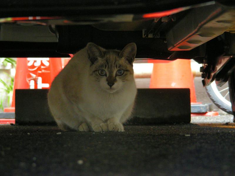 車の下の洋風猫3
