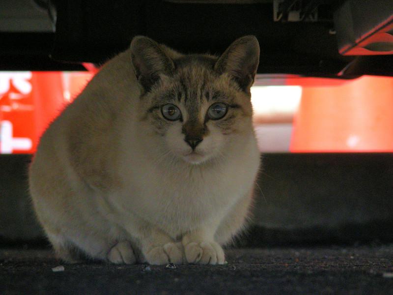 車の下の洋風猫4