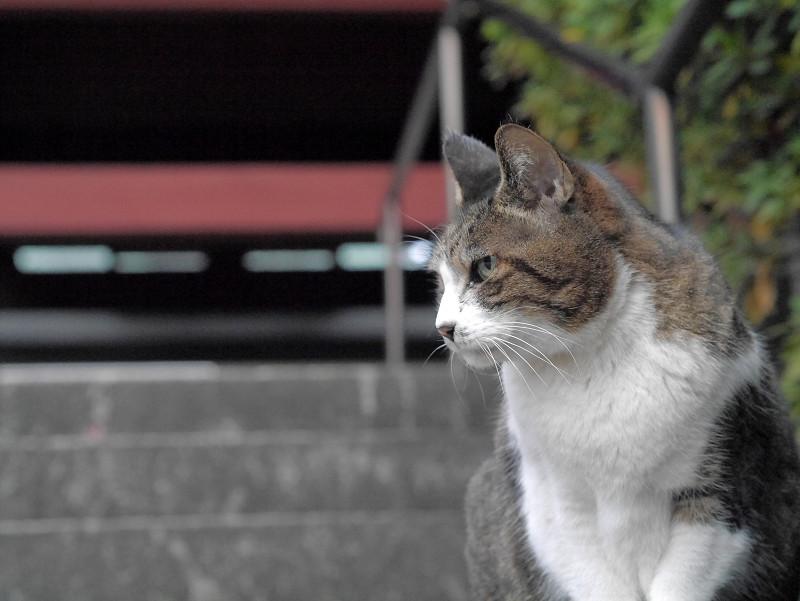 キジ白猫の横顔1